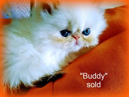AVAILABLE KITTENS - Fig Tree Farm Himalayan Kittens     The